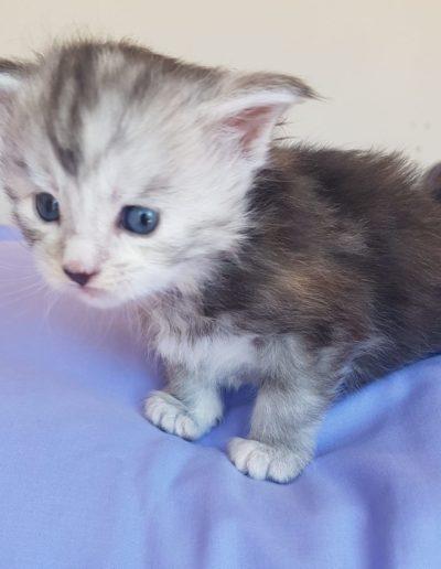 Forever Amber kitten
